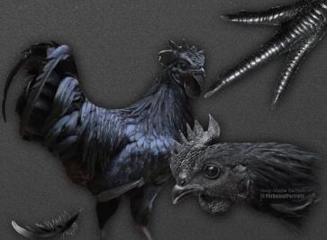 Ayam cemani study grey 2