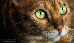 Bengal cat green eyes impressionist