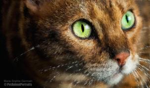 Bengal cat green eyes impressionist