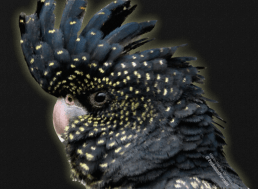 Black cockatoo 2