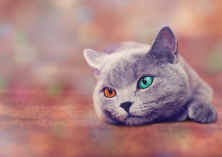 Grey cat vairon eyes 2