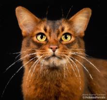 Orange cat close up impressionist